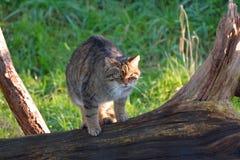 Gato salvaje escocés Imagenes de archivo
