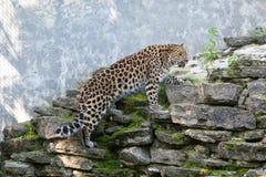 Gato salvaje Leopardo de Amur en jaula al aire libre Fotografía de archivo