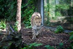 Gato salvaje Leopardo de Amur en jaula al aire libre Fotos de archivo