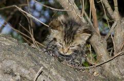 Gato salvaje (silvestris de los silvestris del Felis) Fotografía de archivo