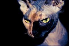Gato seguro de sí mismo de Sphynx en un fondo negro Fotografía de archivo libre de regalías