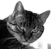 Gato selvagem Imagem de Stock Royalty Free