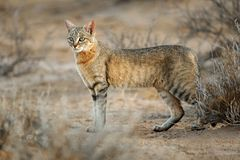 Gato selvagem africano imagem de stock royalty free