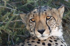 Gato selvagem da chita no parque nacional de Etosha em Namíbia Fotografia de Stock Royalty Free