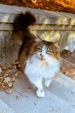 Gato selvagem das cores variegated, suportes nas etapas do parque do outono imagem de stock royalty free