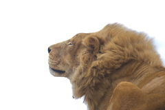 Gato selvagem grande Foto de Stock