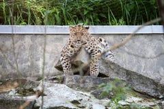Gato selvagem Leopardo de Amur na gaiola ao ar livre Imagem de Stock