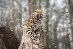 Gato selvagem Leopardo de Amur na gaiola ao ar livre Fotografia de Stock