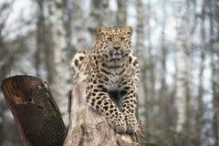 Gato selvagem Leopardo de Amur na gaiola ao ar livre Imagens de Stock Royalty Free
