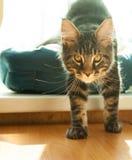Gato selvagem na casa Imagens de Stock