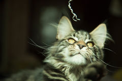 Gato selvagem na casa Foto de Stock Royalty Free