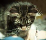 Gato selvagem na casa Imagem de Stock Royalty Free