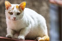 Gato selvagem no ambiente urbano de um animal de estimação em um predador da rua o gatinho bonito olha direito em você Foto de Stock Royalty Free