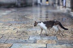 Gato selvagem que anda na rua fotos de stock