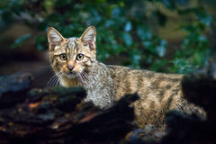 Gato selvagem, silvestris do Felis, animal no habitat da floresta da árvore da natureza, a Europa Central imagens de stock