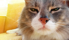 Gato serio Foto de archivo