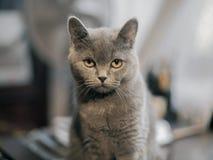 Gato serio de británicos Shorthair Fotos de archivo