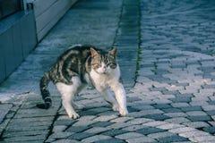 Gato serio de la calle imagen de archivo