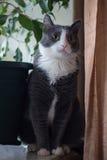 Gato serio del gris del perfil Imagen de archivo libre de regalías