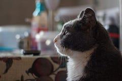 Gato serio del gris del perfil Imágenes de archivo libres de regalías