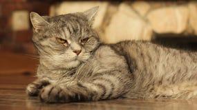 Gato severo que miente en el piso en casa Imagenes de archivo
