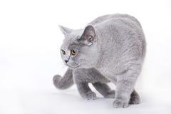 Gato, shorthair británico Fotografía de archivo