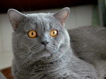 Gato, shorthair británico Fotografía de archivo libre de regalías