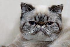 Gato Shorthair exótico Foto de Stock
