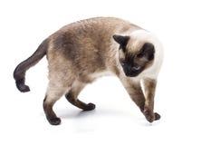 Gato siamés Foto de archivo