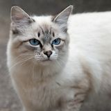 Gato siamés Imagen de archivo