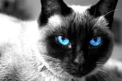 Gato siamés Imágenes de archivo libres de regalías
