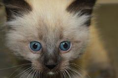Gato siamés Imagenes de archivo