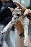 Gato siamés acentuado del gato atigrado Fotografía de archivo libre de regalías