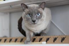 Gato siamés azul - lLooking en la cámara Fotos de archivo