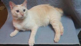 Gato siamés blanco de la cola cortada del americano fotografía de archivo libre de regalías