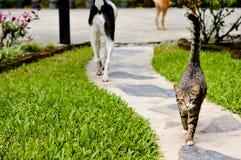 Gato siamés del gato, hermoso y lindo de Tailandia imagenes de archivo