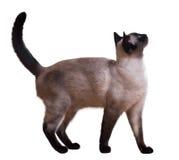 Gato siamés derecho Foto de archivo libre de regalías