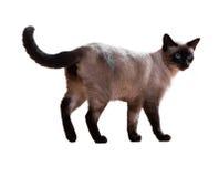 Gato siamés derecho Imagenes de archivo