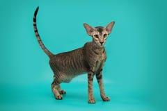 Gato siamés divertido en un fondo del estudio Gato oriental delgado, agraciado con los oídos enormes Fotografía de archivo
