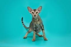 Gato siamés divertido en un fondo del estudio Gato oriental delgado, agraciado con los oídos enormes Fotografía de archivo libre de regalías