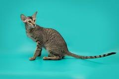 Gato siamés divertido en un fondo del estudio Gato oriental delgado, agraciado con los oídos enormes Imágenes de archivo libres de regalías