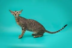 Gato siamés divertido en un fondo del estudio Gato oriental delgado, agraciado con los oídos enormes Foto de archivo libre de regalías