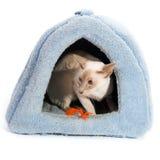 Gato siamés en cesta Foto de archivo libre de regalías