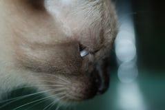 Gato siamés en la mudanza Imagenes de archivo