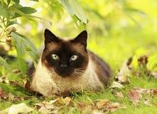 Gato siamés en una hierba verde Fotografía de archivo