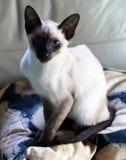 Gato siamés observado azul imagen de archivo libre de regalías