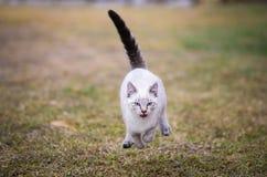 Gato siamés que funciona con velocidad completa a continuación, vista delantera, ojos azules, boca abierta, fondo de la hierba Foto de archivo libre de regalías