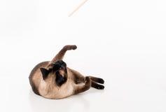Gato siamés que miente en el escritorio blanco y que juega con el palillo de madera Fondo blanco Fotografía de archivo libre de regalías