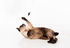 Gato siamés que miente en el escritorio blanco y que juega con la cuerda y el ratón Fondo blanco Foto de archivo libre de regalías