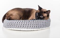 Gato siamés que miente en la cesta hecha a mano Mirada abajo Fondo blanco Imagen de archivo libre de regalías